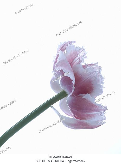 Pink Flower on White Background, Close-Up