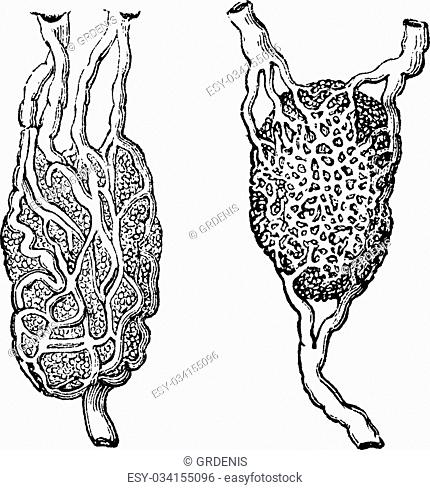 Lymph nodes, vintage engraved illustration. Usual Medicine Dictionary - Paul Labarthe - 1885