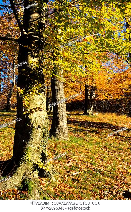 The autumn colours of the beech forest in Male Karpaty, Slovakia