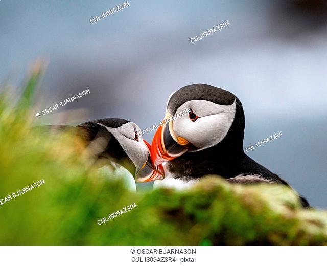 Two puffins touching beaks, Latrabjarg, Westfjords, Iceland