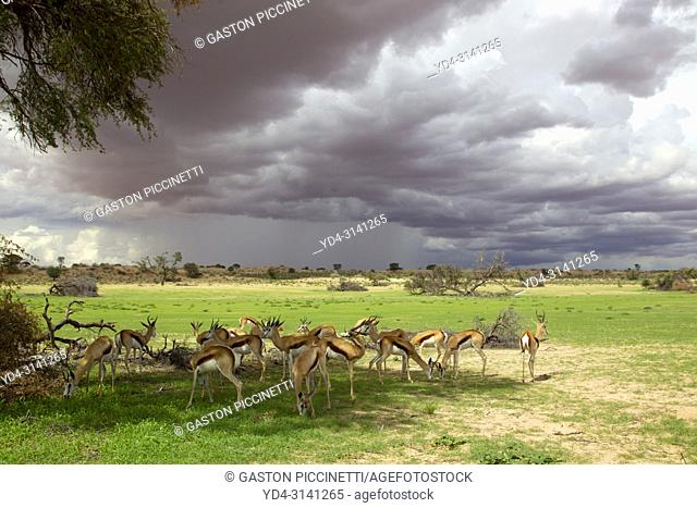 Springbok (Antidorcas marsupialis), in the rain. In the rainy months, the Kalahari turns green and the strange shapes of the clouds in the sky