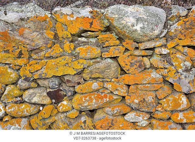 Foliose lichen Xanthoria aureola (orange). Alt Emporda, Girona province, Catalonia, Spain
