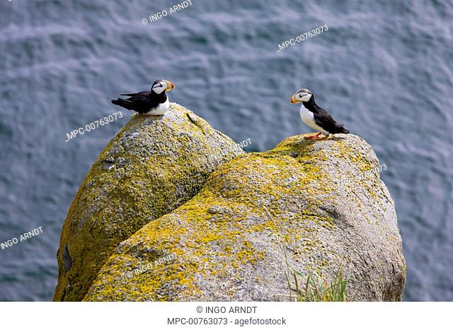 Horned Puffin (Fratercula corniculata) pair on lichen-covered rocks, Bristol Bay, Round Island, Alaska