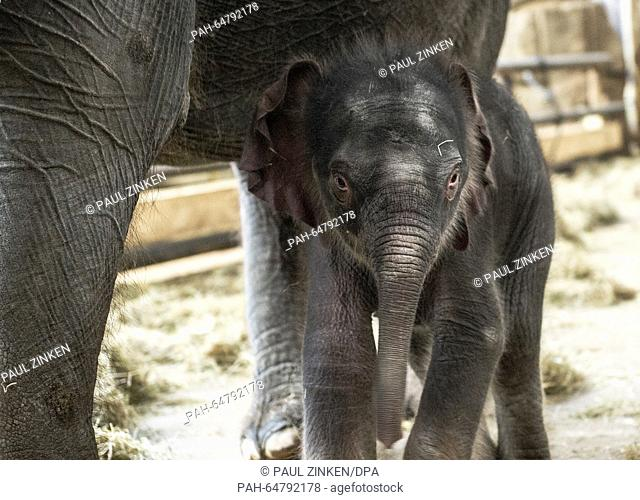 A young bull elephant is seen during a press call in Berlin, Germany, 04 January 2016. The calf was born on New Year's Eve and can be visited at the Elephant...