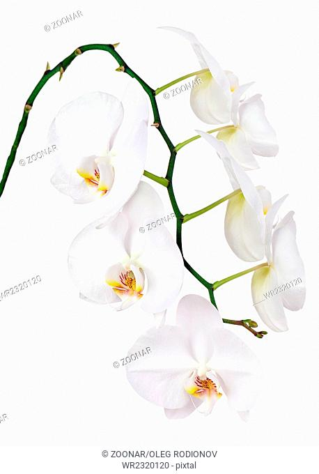 Seven day old white orchid isolated on white background
