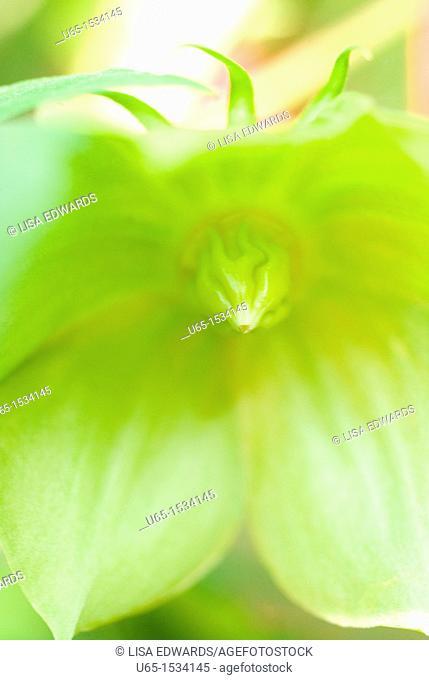 Ranunculaceae in Fort Collins, Colorado, USA