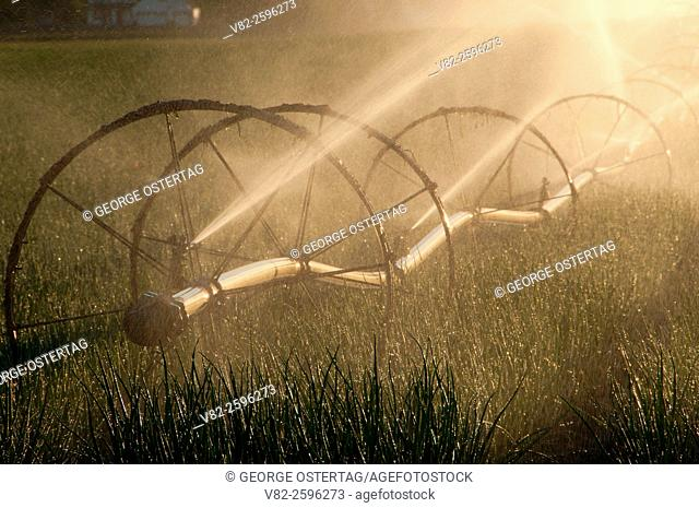 Willamette Valley onion field with irrigation, Marion County, Oregon