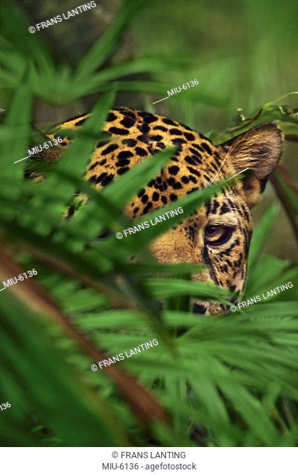A jaguar head seen behind foliage, Panthera onca, Belize