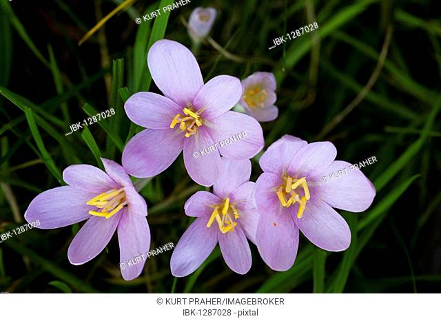 Autumn Crocus (Colchicum autumnale) in a meadow in the morning dew