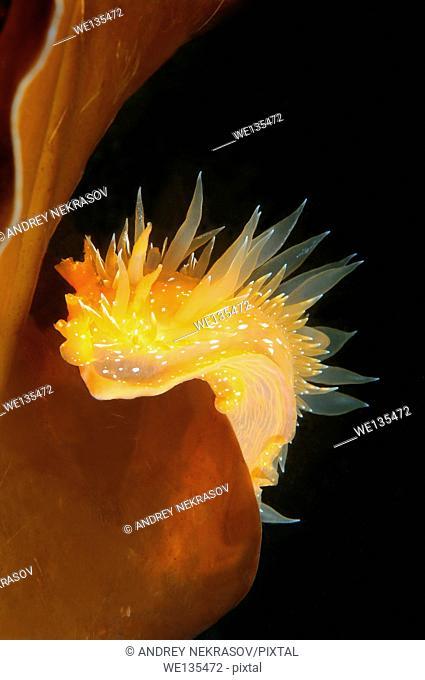 Nudibranch or Sea Slug (Dirona pellucida) Sea of Japan, Rudnaya Pristan, Far East, Primorsky Krai, Russia