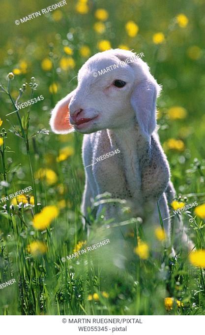 Lamb. Bavaria. Germany