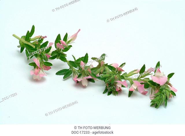 Rest Harrow - Cammock - medicinal plant - herb - Ononis spinosa - Anonide - strancabue - pianta medizinale