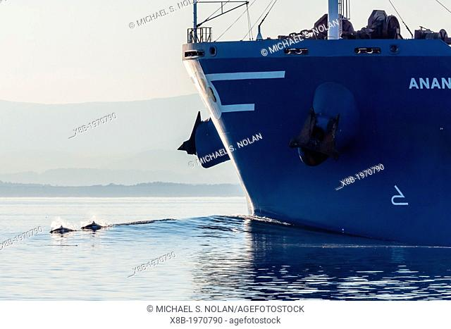 Dall's porpoise (Phocoenoides dalli) bow-riding a tanker in Haro Strait, San Juan Islands, Washington, U.S.A