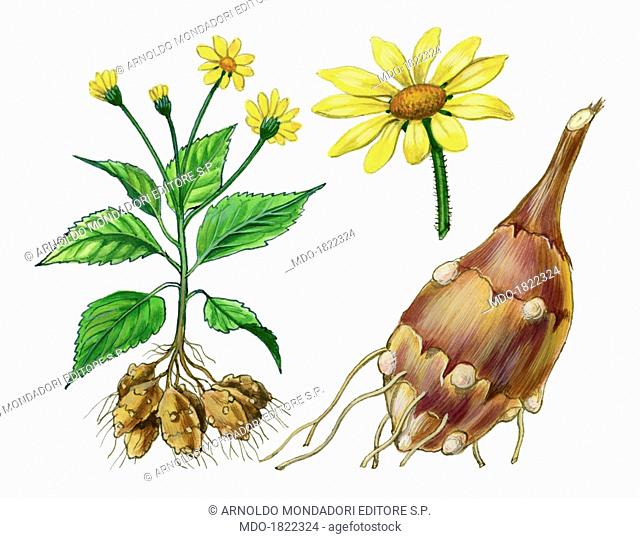 Jerusalem artichoke (Helianthus tuberosus) , by Giglioli E., 20th Century, ink and watercolour on paper. Whole artwork view