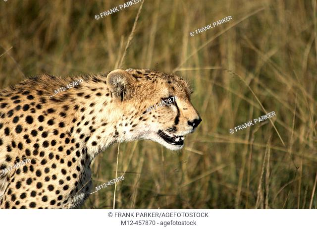 Cheetah strolls the savanna, Masai Mara, Kenya