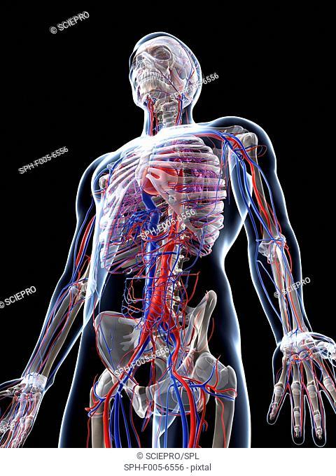 Male vascular system, computer artwork