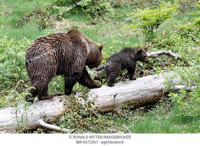 Brown bears (Ursus arctos), mother and cub on tree trunk, captive, Bavarian Forest National Park, Bavaria, Germany
