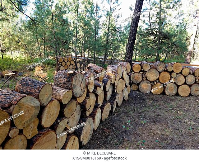 Fire wood rounds are stacked high for seasoning before splitting into firewood