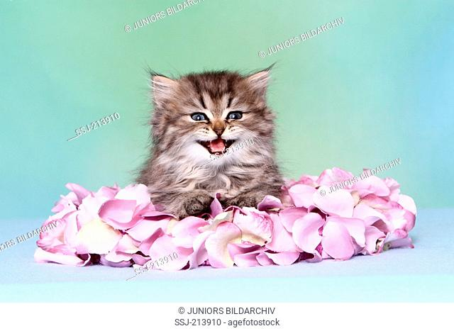 Persian Longhair. Kitten (6 weeks old) lying in a flower wreath, while meowing. Studio picture against a blue background. Germany