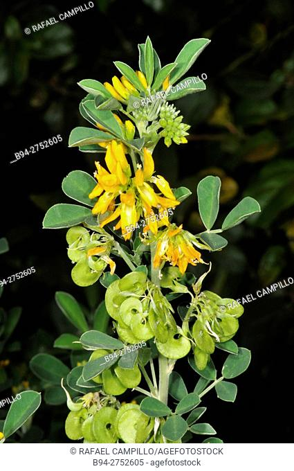 Flowers and seeds of Medicago arborea, plant species of the genus Medicago. Common names include moon trefoil, shrub medick, alfalfa arborea, and tree medick