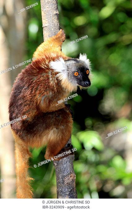 Black Lemur (Eulemur macaco), female on a tree