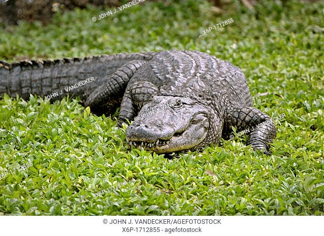American Alligator, Alligator mississippiensis, crawling in Southwest Florida, USA