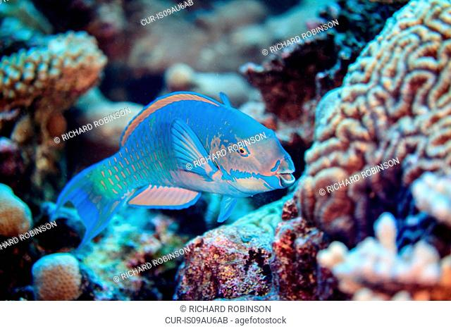 Underwater view of chlorurus frontalis (reefcrest parrotfish) at Palmerston Atoll, Cook Islands