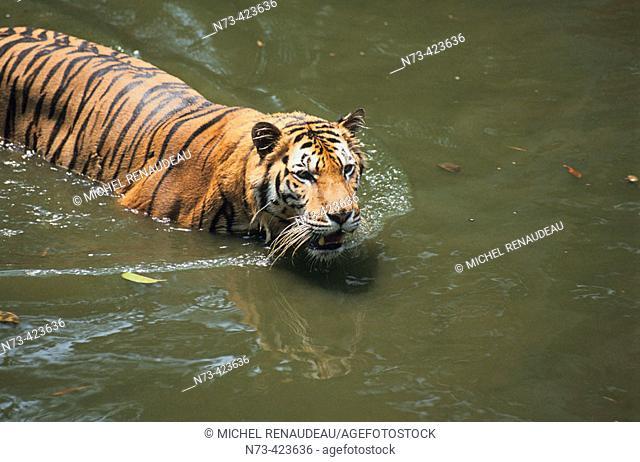 Tiger. Malaysia