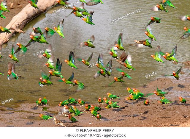 Lilian's Lovebird Agapornis lilianae flock, flying up from waterhole, South Luangwa N P , Zambia