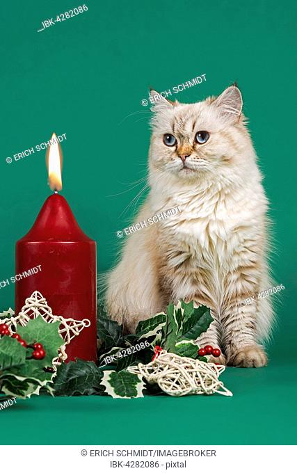 British Shorthair cat gazing at a burning candle, christmas decorations