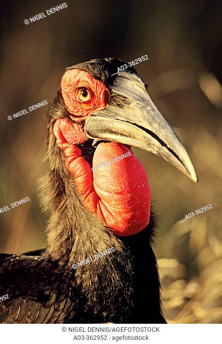 Ground Hornbill (Bucorvus leadbeateri). Kruger National Park, South Africa