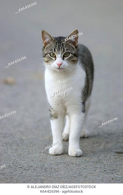Domestic cat standing and looking at cámera. Spain