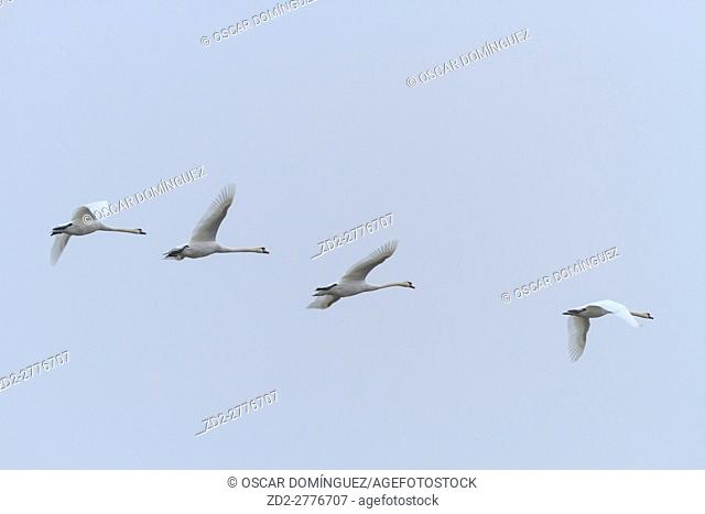 Mute Swan (Cygnus olor) group of four in flight. Lower Silesia. Poland