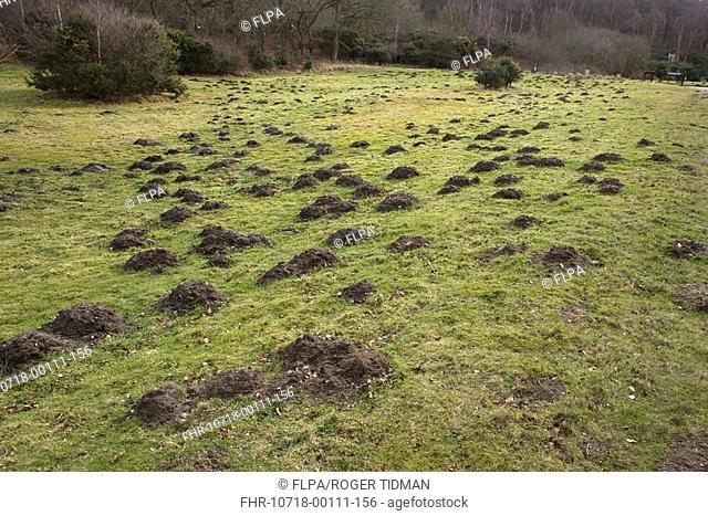 European Mole Talpa europaea molehills, Norfolk, England