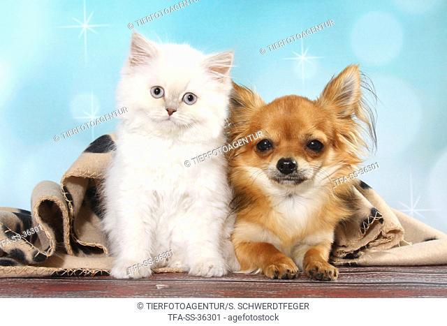 Highlander Kitten and Chihuahua