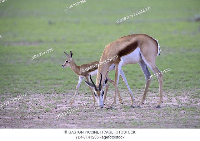 Springbok (Antidorcas marsupialis) -Mother and lamb, Kgalagadi Transfrontier Park in rainy season, Kalahari Desert, South Africa/Botswana