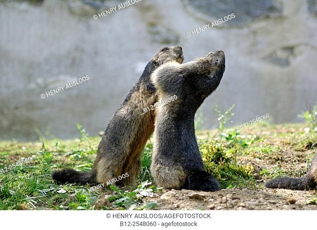 Alpine Marmot (Marmota marmota) fighting. France