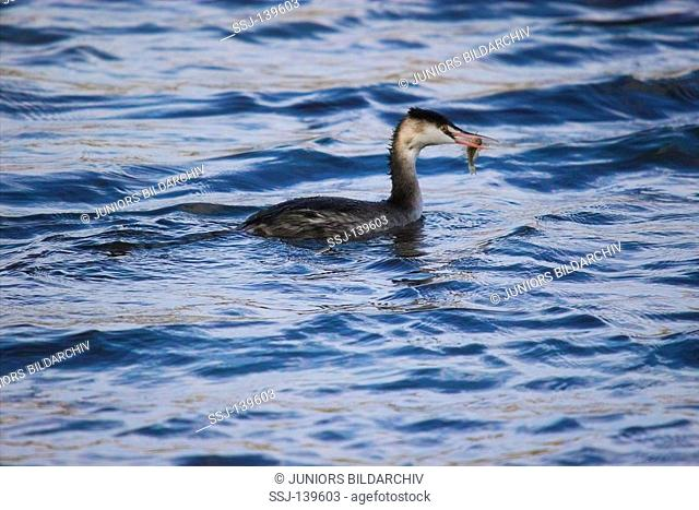 young Great Crested Grebe with fish in beak / Podiceps cristatus