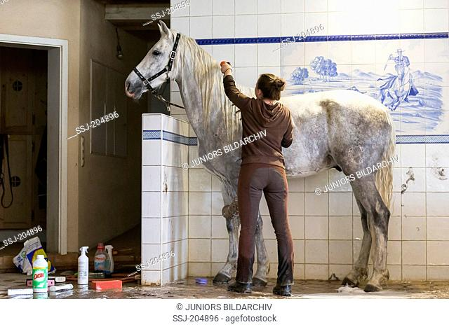 Domestic horse. Groom washing a gray horse. Germany