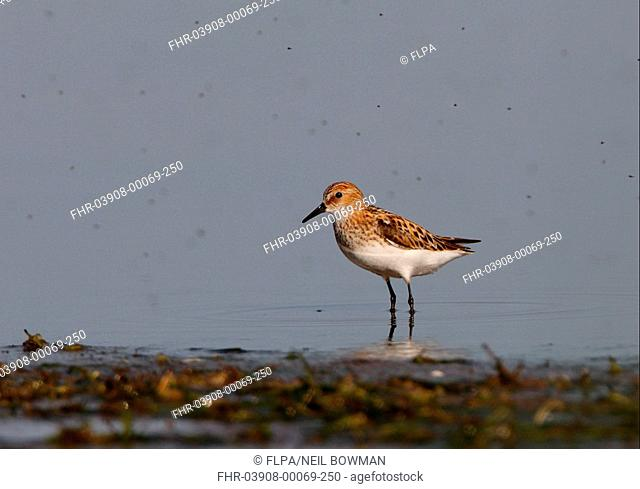 Little Stint Calidris minuta adult, standing in shallow lake amongst swarm of midges, Aqmola Province, Kazakhstan, june