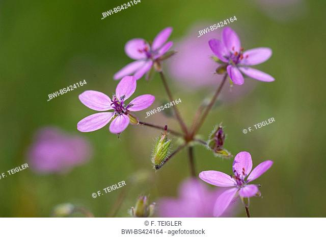 common stork's-bill, red-stemmed filaree, pin clover (Erodium cicutarium), blooming, Germany