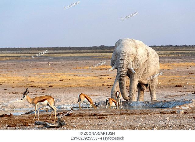 White african elephants in Etosha