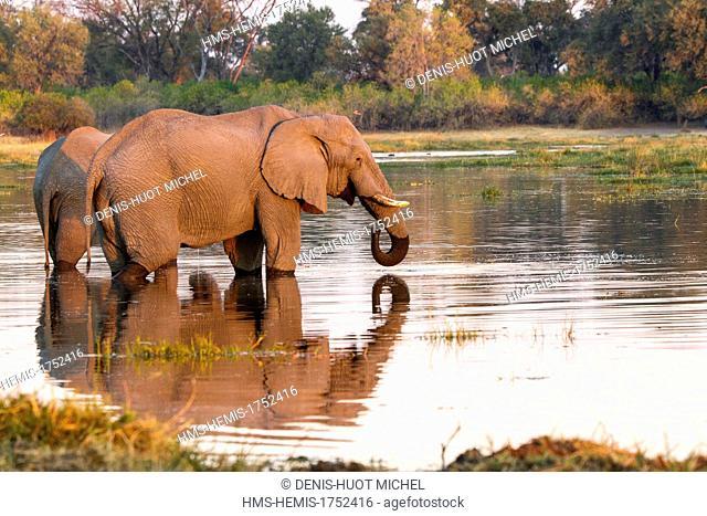 Botswana, Moremi game reserve, Khwai River, elephant (Loxodonta africana), male drinking