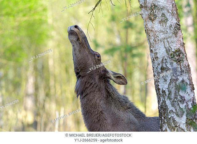 European Moose, Alces alces, Germany, Europe