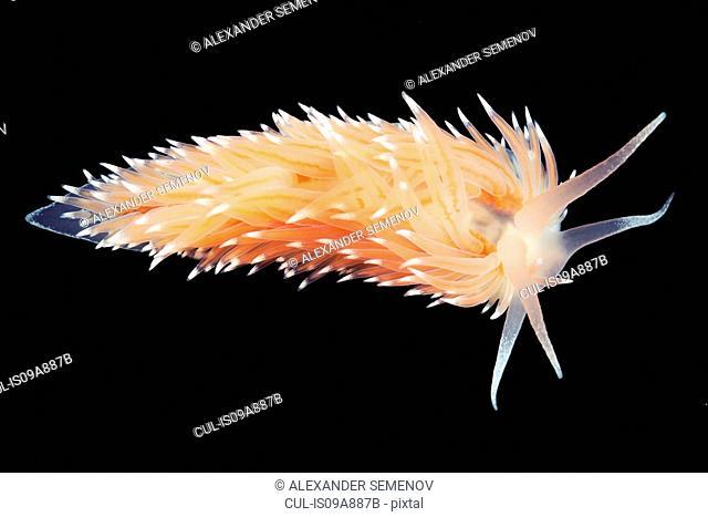 Coryphella polaris sea slug