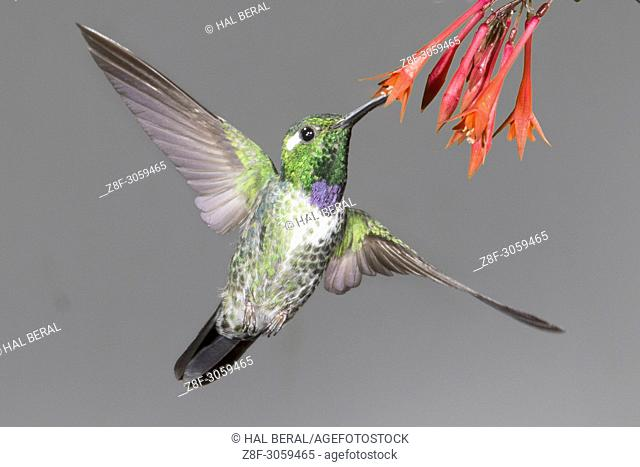 Purple-Bibbed Whitetip Hummingbird male feeding on flower (Urosticte benjamini). Ecuador