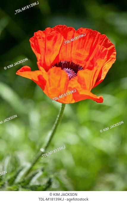 An oriental poppy in full bloom