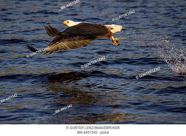 African fish eagle (Haliaeetus vocifer) when hunting with prey, Chobe River, Chobe National Park, Botswana