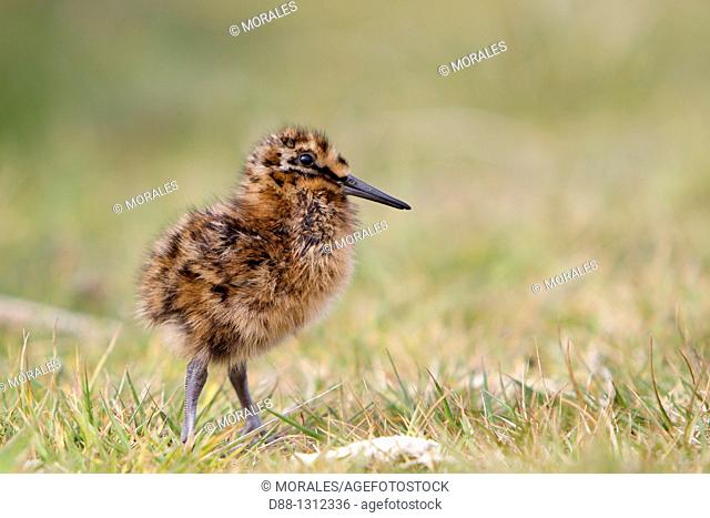 Falkland Islands , Sea LIon island , Magellanic snipe or South American Snipe Gallinago paraguaiae magellanicae  , young , Order : Charadriiformes