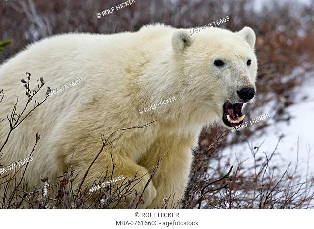 Polar Bear, Ursus maritimus, in the Churchill Wildlife Management Area, Hudson Bay, Churchill, Manitoba, Canada